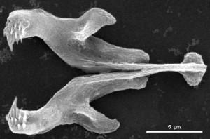 [Image: jaws-of-haplognathia-gnathostomulida-300x198.jpg]