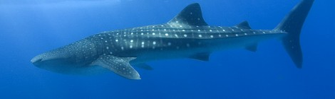 Why are whale sharks so small?