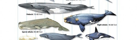 What is the Biggest Whale? A Cetacea Size Comparison Chart