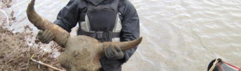 Rare and Big Bison Discovered in Alaskan Permafrost