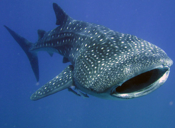 whale sharks  great white Whale Shark Size