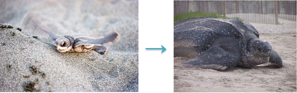 Leatherbacks go from small and adorable to being large and in charge. Source: Wikimedia Commons