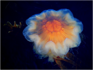 Lion's Head Jellyfish. Source: Wikimedia commons