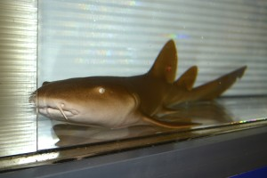 Nurse Shark - a buccal ventilator.