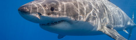 5 Reasons Why Great White Sharks are the Blackberry of the Seas