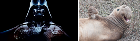 Star Wars Elephant Seals: What do they have in common with Darth Vader?
