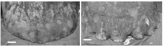 Among other differences, the two species of Mola have different clavuses, with one being wavy and the other flat. Figure from Yoshita et al. 2008.